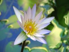 Tema con variaciones (Fran.Marchena) Tags: flowers naturaleza flores nature canon venezuela waterlilies aquaticplants nenfares lotos fantasticflower floresacuticas franmarchena