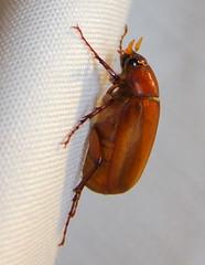 Junebug in September (Anita363) Tags: fauna insect newjersey beetle nj september highlandpark junebug incandescent unidentified lateral coleoptera maybeetle junebeetle scarabaeidae melolonthinae phyllophaga polyphaga scarabaeoidea melolonthini