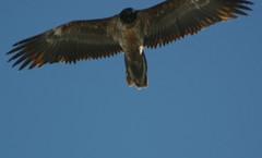 Gypate barbu / Bearded vulture / Lmmergeier (rndm_variable) Tags: bird switzerland suisse wildlife vulture animaux eiger oiseau jungfrau mnch berneroberlan