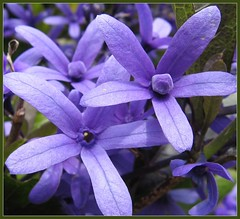 """Star Struck"" (Mary Faith.) Tags: flowers blue light summer sun plant colour macro tree texture nature garden stars landscape purple bright violet hobby mauve blooms smothered theunforgettablepictures wonderfulworldofflowers"