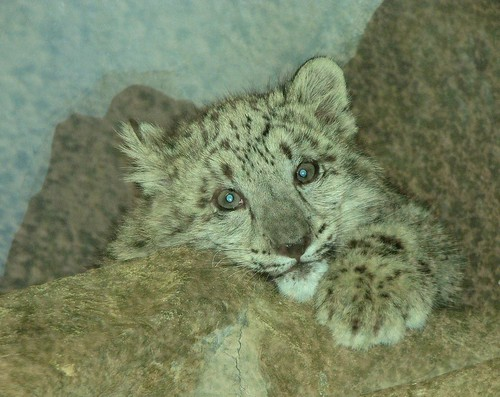 A face of an angel! Snow leopard cub