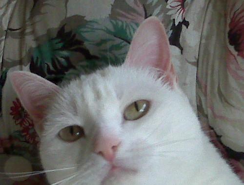 Foto di Sky, gattina bianca