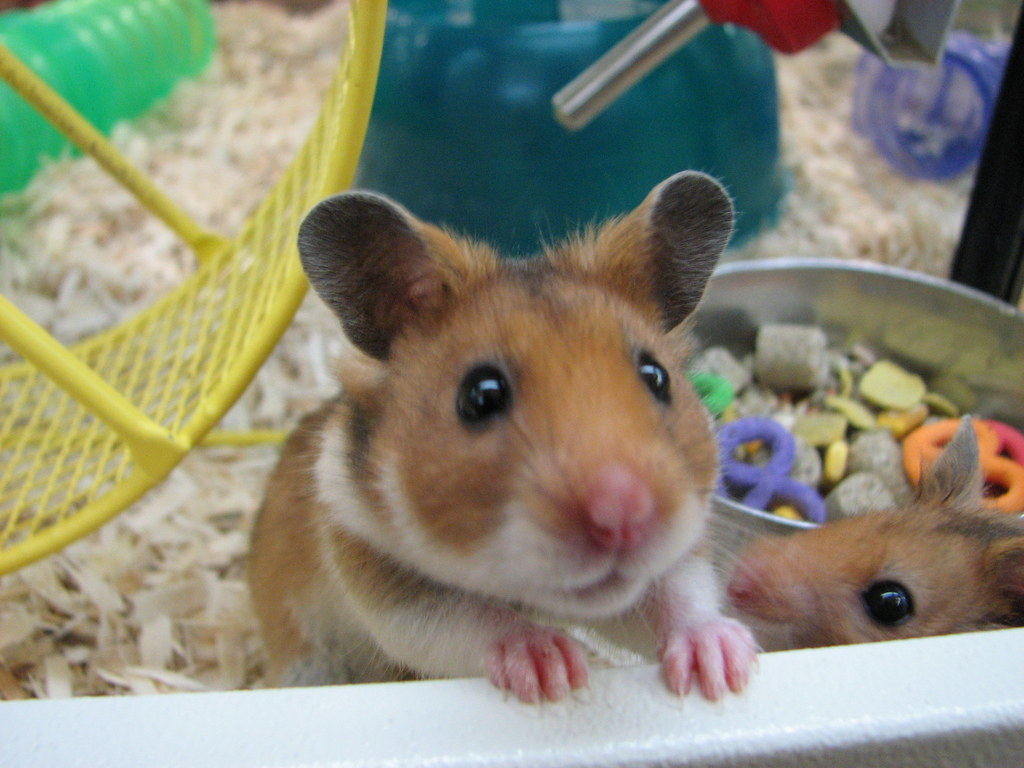 The World's most recently posted photos of hamsters and