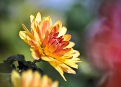 Amidst the Chaos of Chroma.. (SonOfJordan) Tags: blur flower colour nature canon eos bokeh amman jordan colourful xsi chroma simplythebest 450d  excellentsflowers samawi sonofjordan shadisamawi  wwwshadisamawicom