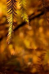 onlymostlyevergreen [detail] (lecates) Tags: autumn orange blur tree fall leaves yellow season 50mm iso200 nikon bokeh f56 d300 50mmf12ais 0ev 1250sec youvsthebest youvbesthof thepinnaclehof