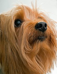 Really Cute Yorkshire Terrier