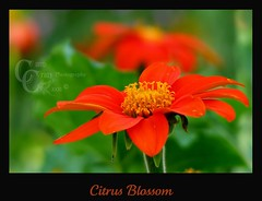 Citrus Blossom (CampCrazy Photography) Tags: flowers orange plant ontario flower green tangerine garden outdoors petals shoot blossom bokeh cluster vivid center bloom citrus annual bud wildflower herb oakville perennial posy inflorescence pompon floweret floret efflorescence bloomingflowers mywinners mywinner citrit theunforgettablepictures theunforgettablepicturesgroup theperfectphotographer goldstaraward awesomeblossoms campcrazyphotography