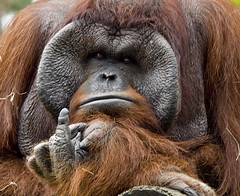 What ???? (riclane) Tags: animal zoo finger orangutan ape lowryparkzoo flippinthebird karmanominated 1on1animalsnonpetphotooftheweek 1on1animalsnonpetphotooftheweekjanuary2009