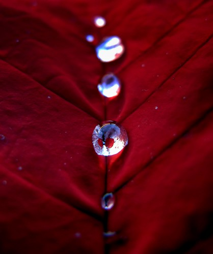 Poinsettia Water Drops (by peasap)