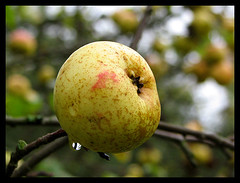 Apple after the rain (Pommekitty) Tags: apple fruit pomme