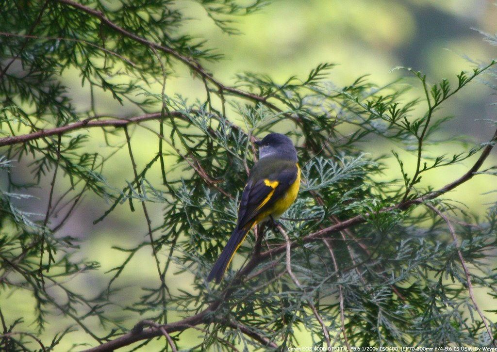 灰喉山椒 Gray-throated Minivet - IMG_1836