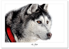 Mr. Husky (Imapix) Tags: dog chien canada art nature animal canon photography photo eyes husky foto photographie image quebec qubec sleddogs imapix eskie gaetanbourque chiendetraineau imapixphotography gatanbourquephotography