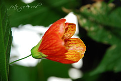 Red flower (go4red) Tags: flower cvet nebojsa nikond80 knezevic nikor18135 goforred nebojsaknezevic go4red fotogo4red