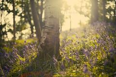Bluebells (2) (Stuart Stevenson) Tags: nature bluebells woodland photography scotland springtime bluebellwood canon50mm14 clydevalley naturalised thanksforviewing canon5dmkii stuartstevenson stuartstevenson
