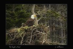 The Eagle's Nest (Tomcod) Tags: bird newfoundland flying bill wings nest eagle tail baldeagle beak talon raptor perch predator avalon claws avian averie