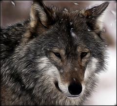 Wolf (Sam Smith Photography) Tags: dog snow art digital wolf wildlife canine paintover samsmithphotography