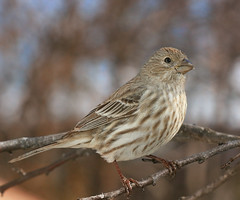 Female House Finch (Uncle Phooey) Tags: explore housefinch carpodacusmexicanus canon70200mmf4lusm platinumphoto goldstaraward unclephooey