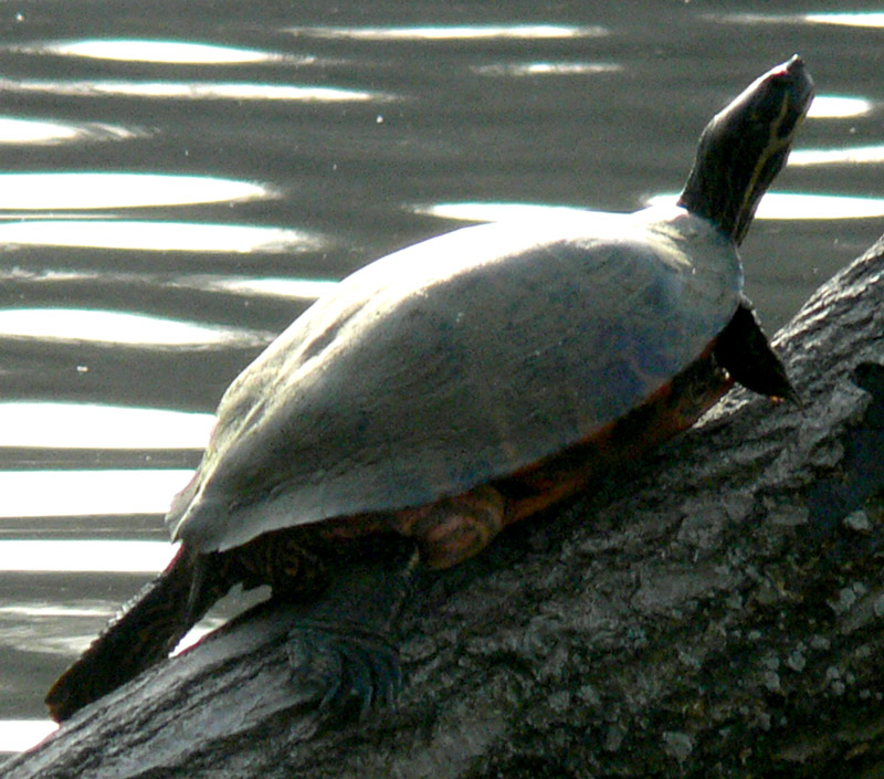 Lake Turtles