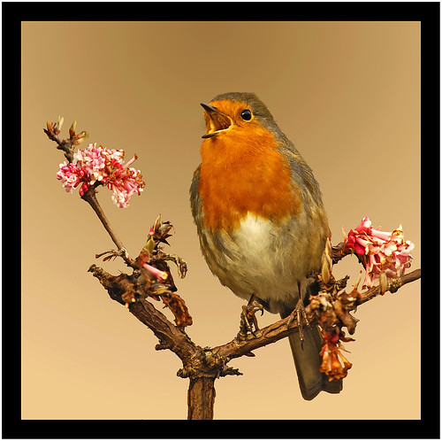 Robin with a song
