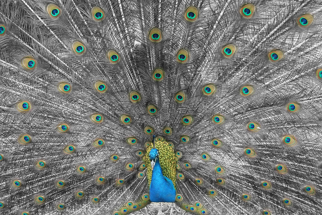 Peacock Closeup - Selective Color