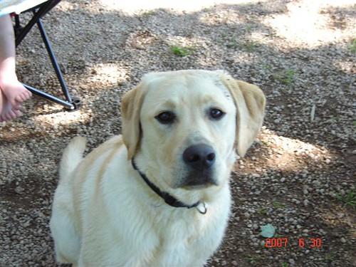 yellow labrador retriever - Furgus