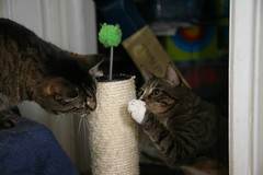 there's about to be trouble... (PunkElmo) Tags: alex cat tabby dslr addy scratchingpost canoneos5d