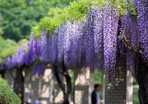 藤棚(FUji-Dana)=Wistaria trellis | Flickr - Photo Sharing!