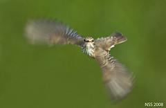 (N-S-S) Tags: bird birds nikon sigma best kuwait nikkor  800 nasser 800mm d300  nss    vwc    d2xs  abigfave   kvwc   alsolihem