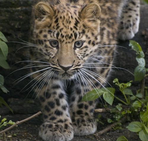 Amur Leopard (Panthera pardus ...