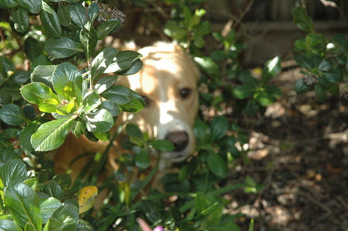 Dog in Bushes