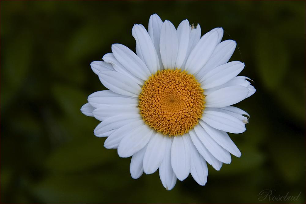 shasta daisy ©2008 RosebudPenfold