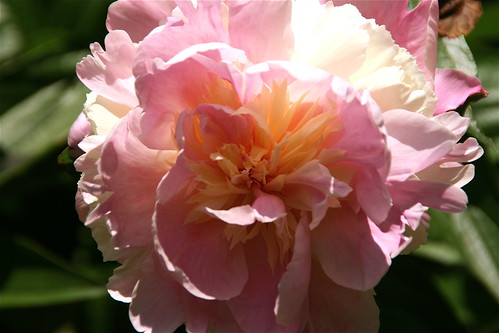 First of the herbaceous peonies