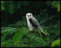Black Shouldered Kite! (Abhishek unplugged!) Tags: birdwatcher elanuscaeruleus blackshoulderedkite blackwingedkite accipitridae blueribbonwinner specanimal avianexcellence goldenpalmaward sonydsch50
