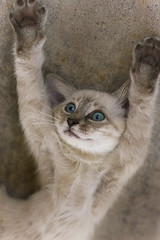 Put Your Paws Up (Domain Barnyard) Tags: pet animal cat kitten feline funny action kitty 85mm gato f22 haha stretching handsup pussycat tingey blueribbonwinner domainbarnyard bestofcats canoneos40d boc0708