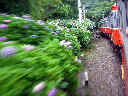 Hakone trip hydrangea