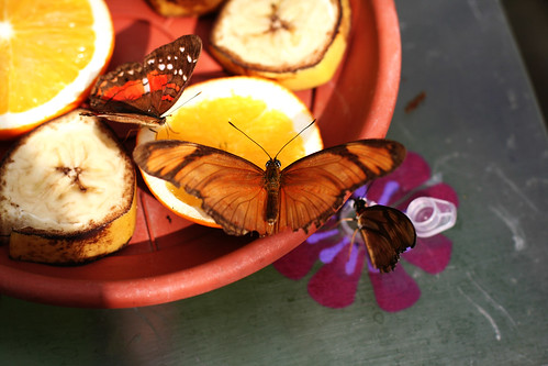 Butterflies eating