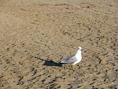 His Good Side (gonisj) Tags: seagulls lake beach water swimming sand rocks erie rockybeaches