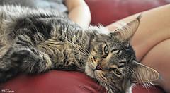 Leo the cat ;-) (Magda'70) Tags: beauty cat nikon leo kitty mainecoon 2008 magda bartek d300 aplusphoto zymon catnipaddicts