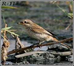 Red-backed Shrike (rashed11112) Tags: shrike redbacked