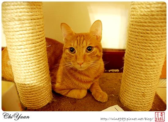 【貓季】一隻愛滾動的‧橘子