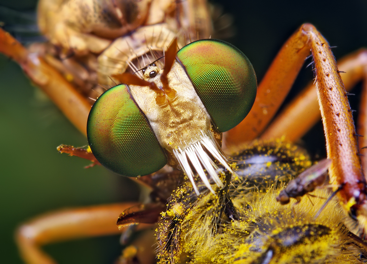 Bug close-up: Hanging-Thief Diogmites Robber Fly