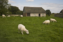 Sheep Near Avebury Barn (ramislevy) Tags: uk england field stone barn fence sheep farm avebury henge