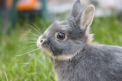 Mumble (Mark Philpott) Tags: brown house rabbit bunny bunnies garden fun grey eric dwarf mini netherland rabbits rex binky lop paly mumble flopsy