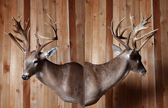 not your typical texan (bigbuzzhunt) Tags: net texas hunting taxidermy deer antlers mount gross buck score hunt whitetail nontypical 4countyoutfitters