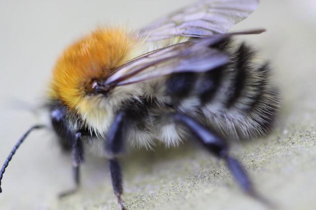 Macro Bumblebee?....Is it a Bumblebee? Doesn't look like the Bumblebee's on Wikipedia...