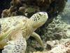 Turtle (dachalan) Tags: asia southeastasia underwater turtle wildlife scuba diving malaysia borneo sipadan sabah celebessea semporna nikoncoolpixp1 dachalan pulausipadan photofaceoffwinner sulawesisea pfogold pfosilver tunsakaranmarinepark sunkentreasureaward