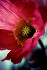 (narelle*) Tags: pink flowers red flower color green nature colors leaves garden petals spring colorful bright gardening blossoms poppy poppies bloom colourful blooms
