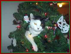 pj in the christmas tree 2 (tiffa130) Tags: christmas xmas color tree green birds animals cat stock creative kitty free commons christmastree vert cc creativecommons stockphotos xmastree colorgreen freepics flickrstock tiffa photobytiffany 10millionphotos lolcats freestockphotos freestockphotography allcatsallowed tiffanyday photosbytiffa photobytiffa