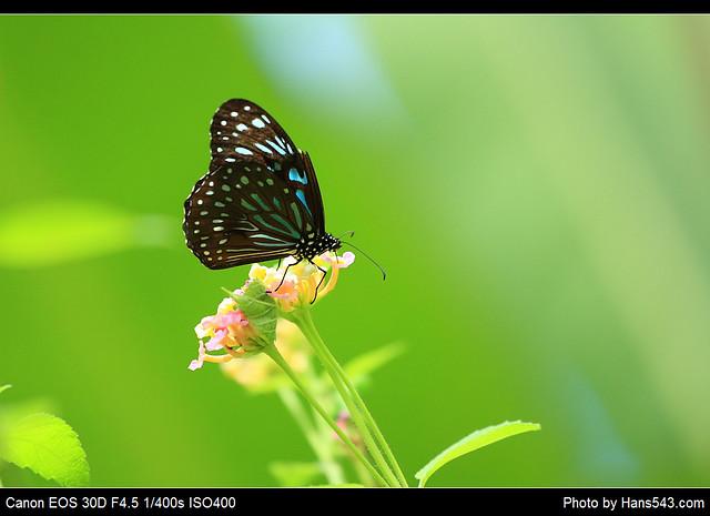 蝴蝶_Butterfly_01
