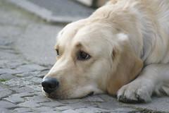 Der Hund (Tropical Diaspora) Tags: street berlin labrador strasse olhos cao hund cachorro tropical augen blick berlim diaspora djgarrincha tropicaldiaspora